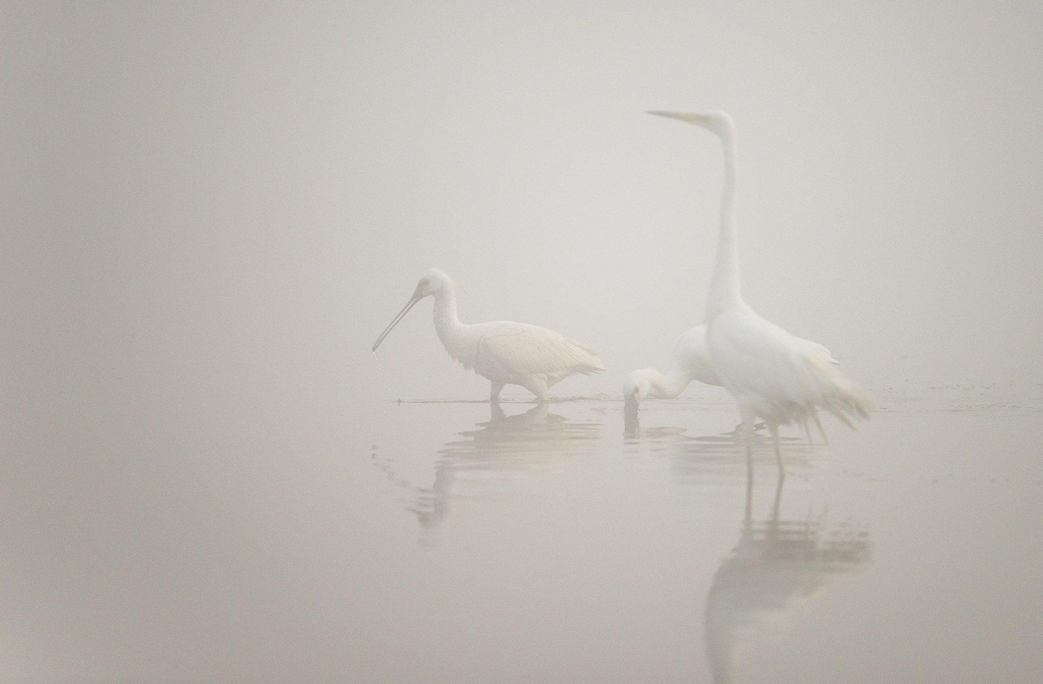 Spatules blanches, grande aigrette, temps de brouillard, marais de La Bassée, Baie de Somme, Picardie, France