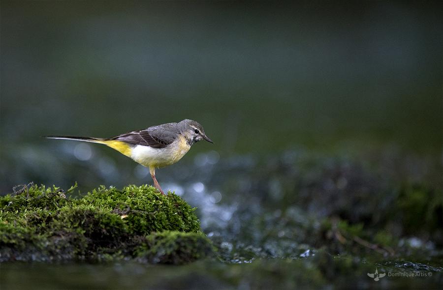 Bergeronnette des ruisseaux Motacilla cinerea - Grey Wagtail