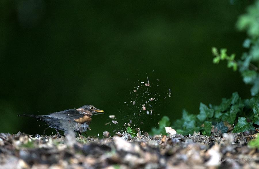 Merle noir femelle (Turdus merula) - Common Blackbird, à la recherche de vers de terre.
