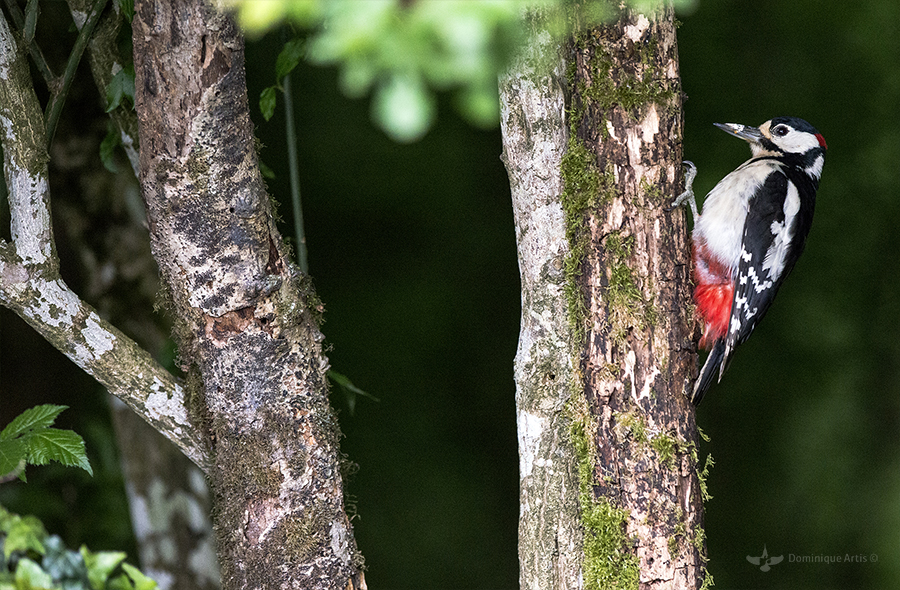 Pic épeiche Dendrocopos major - Great Spotted Woodpecker