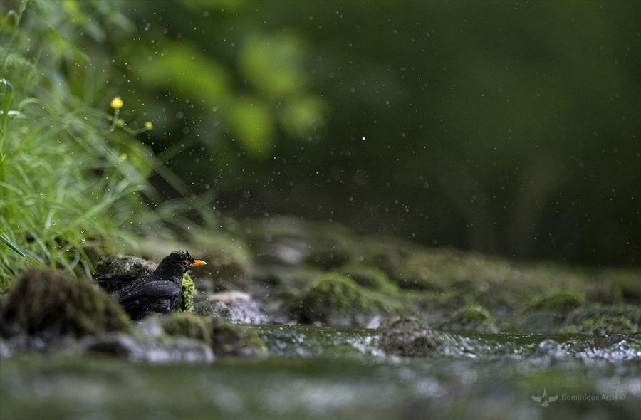 La toilette du merle noir (Turdus merula)