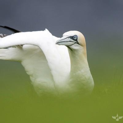 Oiseaux de mer Shetland 2015