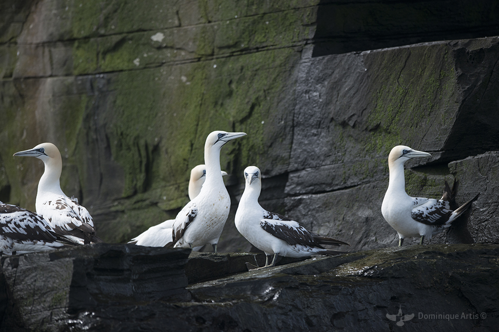 Fou de Bassan - île De Noss - Shetland - Écosse