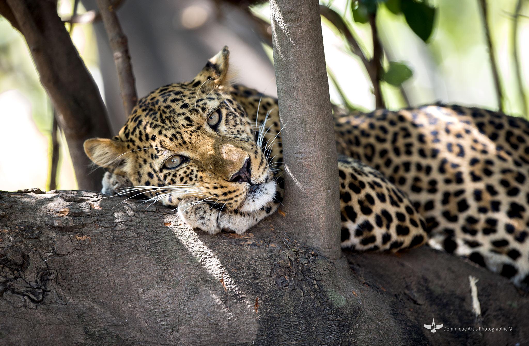 Le lion (Panthera leo) ParcNational South Luangwa - Zambie 2012. Mammifères carnivores de la famille des félidés. La femelle du lion est la lionne, son petit est le lionceau. Le mâle adulte, aisément reconnaissable à son importante crinière, accuse une masse moyenne qui peut être variable selon les zones géographiques où il se trouve, allant de 180 kg pour les lions de Kruger à 230 kg pour les lions de Transvaal.