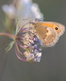Papillons : le soir au soleil couchant