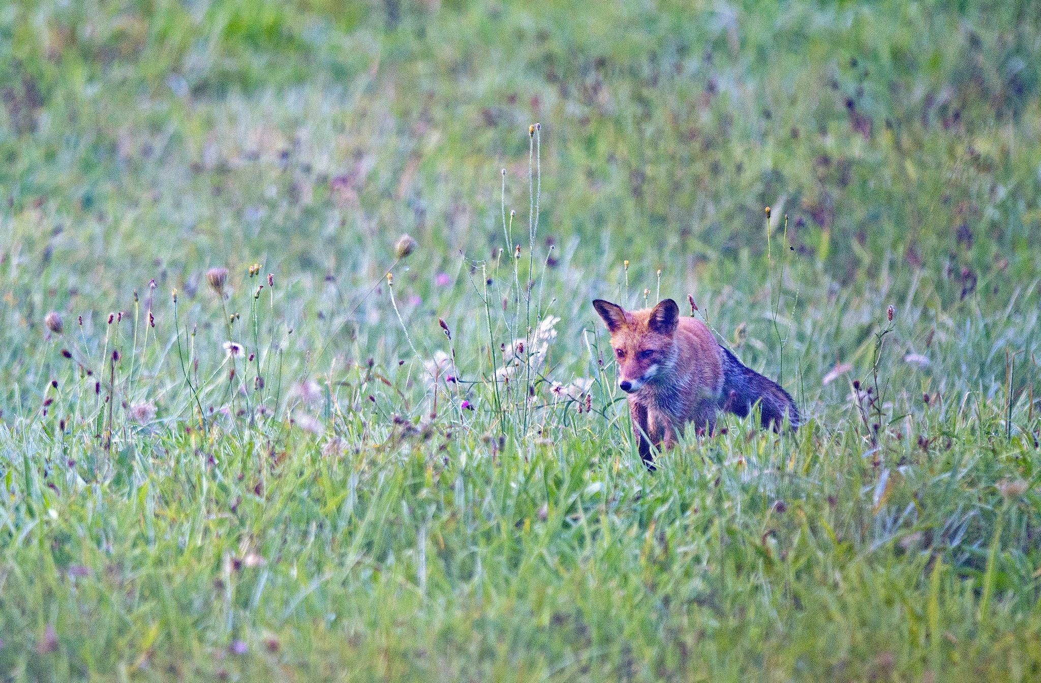 Le Renard roux, contrairement à de nombreux canidés qui chassent en meute, part en quête de nourriture en solitaire.