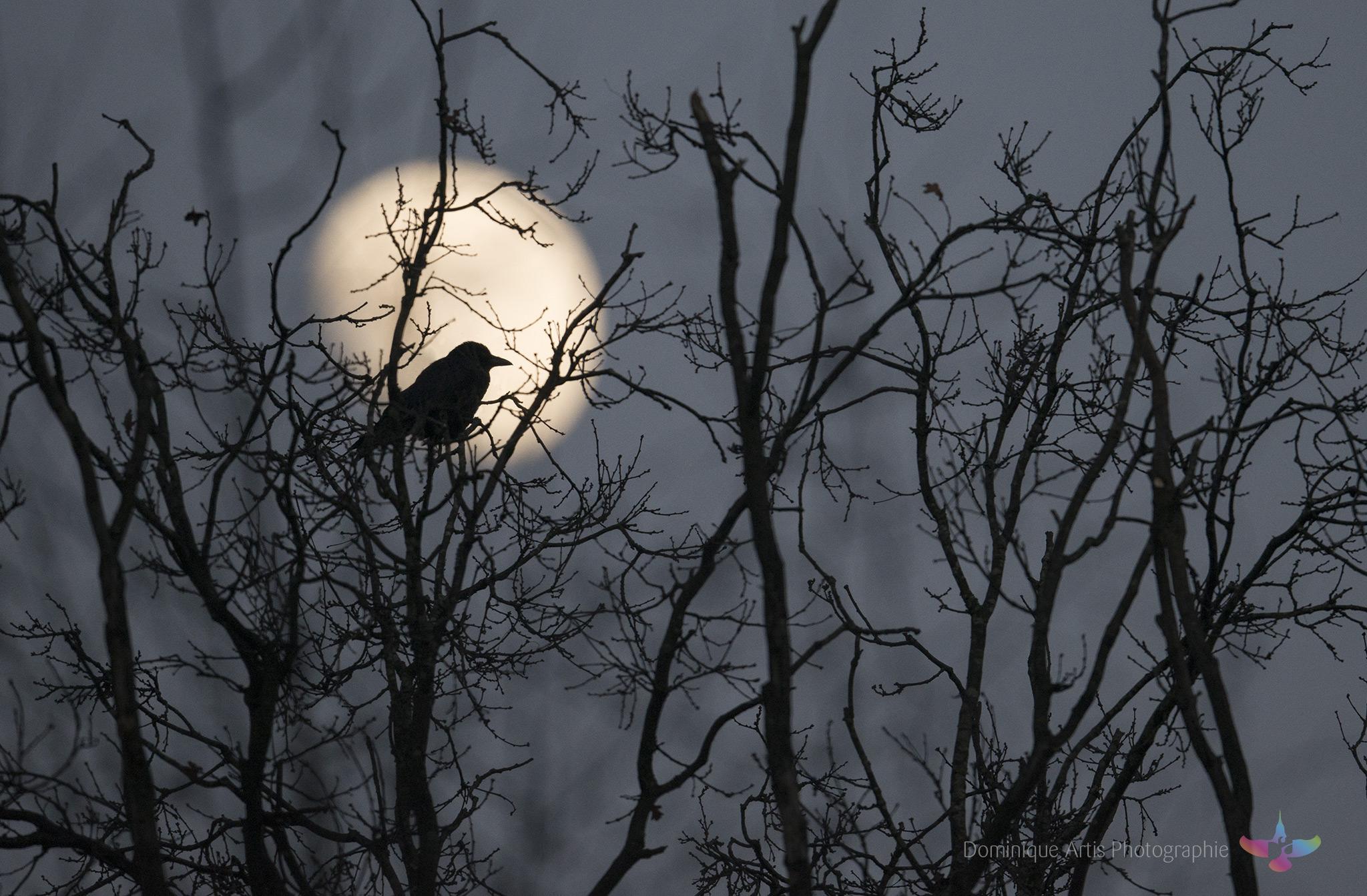 Corneille au clair de lune