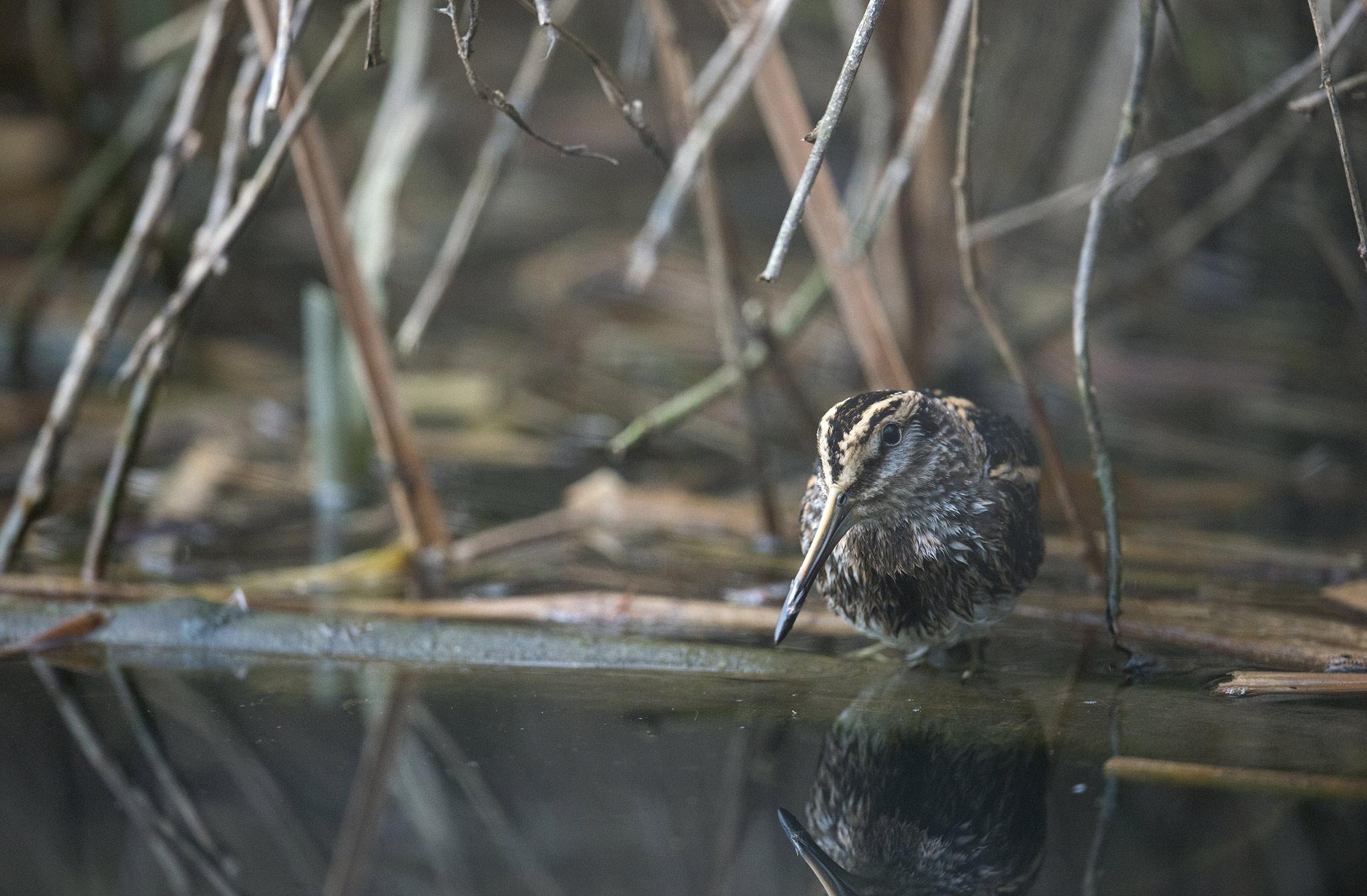 La Bécassine sourde est une espèce d'oiseaux, l'une des trois espèces de bécassines vivant en France. C'est la seule bécassine qui attend le dernier moment pour prendre son envol lorsqu'un danger survient.