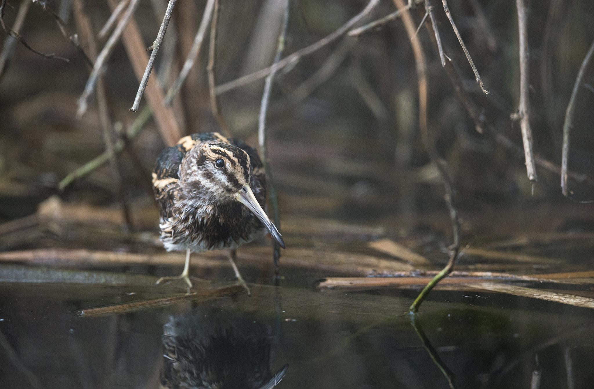 Bécassine sourde Lymnocryptes minimus - Jack Snipe - La Bécassine sourde est une espèce d'oiseaux, l'une des trois espèces de bécassines vivant en France. C'est la seule bécassine qui attend le dernier moment pour prendre son envol lorsqu'un danger survient.