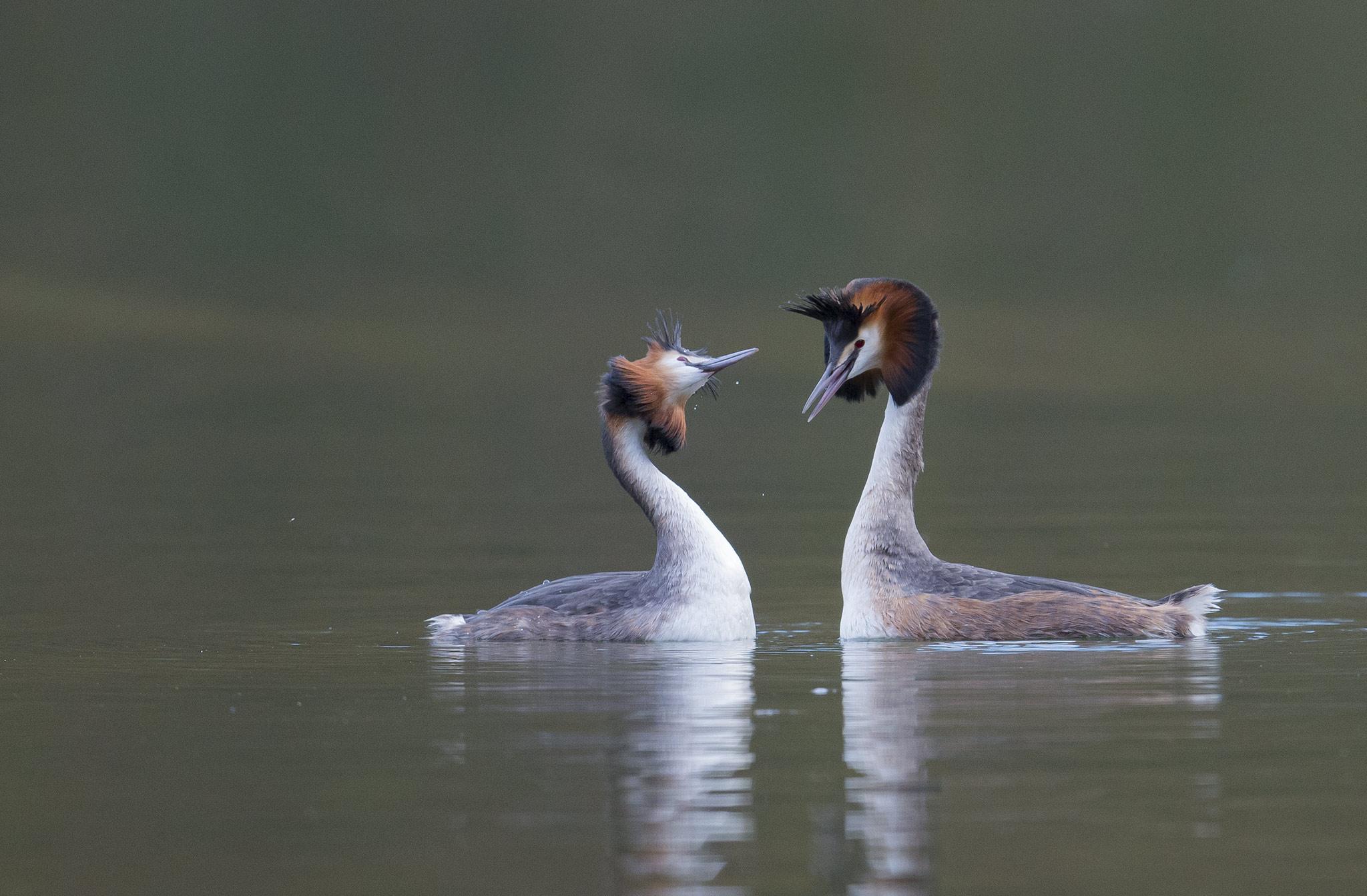 Les couples commencent à se former au cœur de l'hiver. La nidification peut commencer dès le mois de janvier si les conditions météorologiques ne sont pas trop rudes, mais elle a généralement lieu entre avril et juillet. Cette espèce est célèbre pour sa parade nuptiale élaborée.