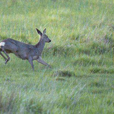Chevreuils : affûts chasse photographique