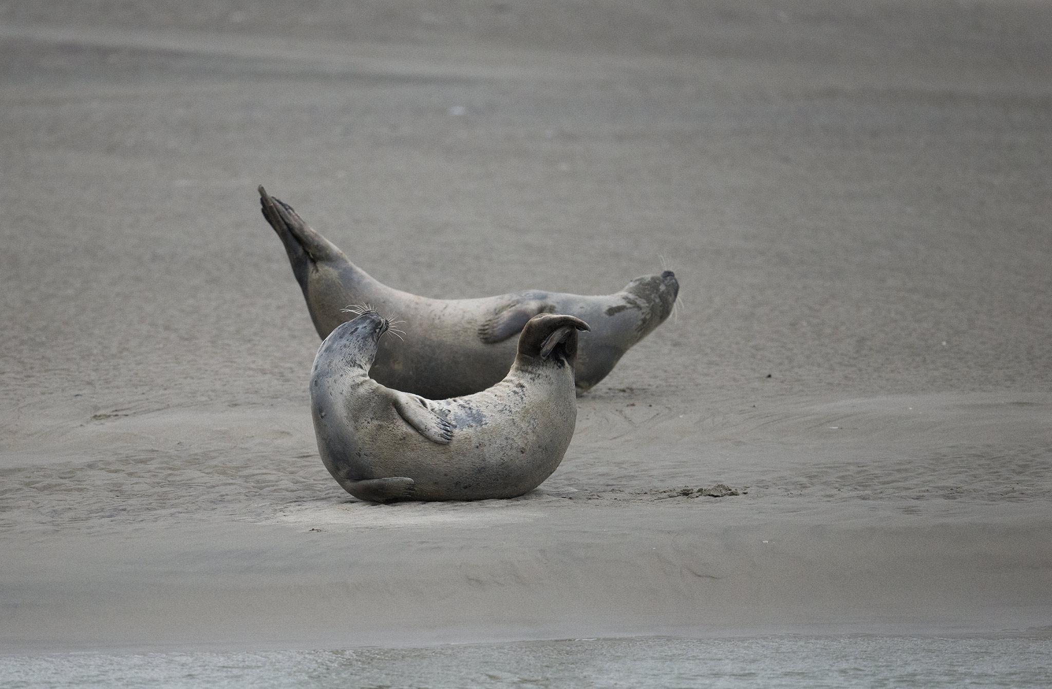 Les phoques gris et les phoques veaux-marins Baie d'Authie - Berck-sur-mer - Picardie Hauts-de-France