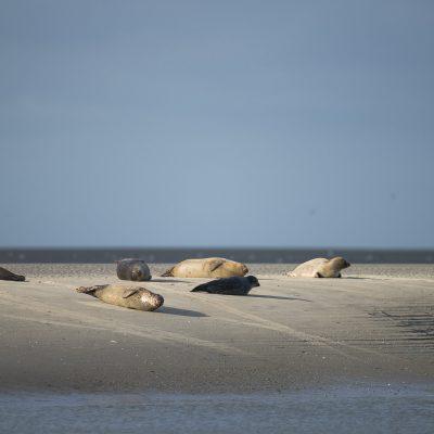 Les Phoques de Berck-sur-Mer