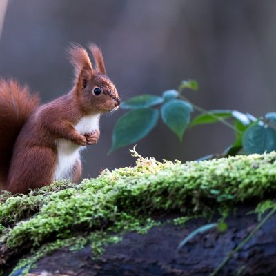 L'écureuil roux de la Forêt de Meudon
