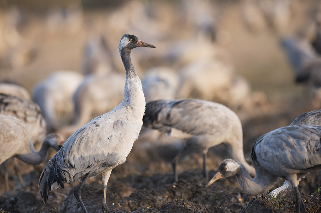 Grues cendrées (Grus grus) - Common Crane