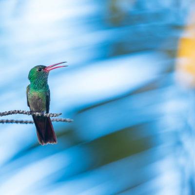 Ariane à ventre gris (Amazilia tzacatl) - Réserve Nationale de Maquenque - Costa Rica
