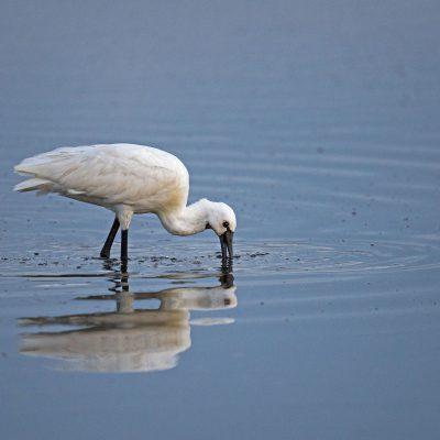 Spatule blanche Platalea leucorodia - Eurasian Spoonbill La Spatule blanche se nourrit en marchant lentement dans l'eau peu profonde avec le bec semi-ouvert et partiellement immergé. Les proies sont détectées par le toucher.