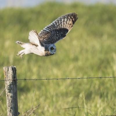 Le vol du Hibou des marais est aisé, les ailes battent régulièrement, avec assurance, ou en planant brièvement en formant un V bien ouvert.