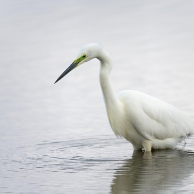 Grande Aigrette (Ardea alba) - Great Egret