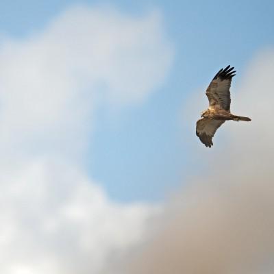 Le Busard des roseaux, est le plus grand des quatre espèces qui habitent dans l'Union Européenne. Fine silhouette aux longues ailes coudées. Plumage brun sombre, manteau roux sombre. Le mâle a la queue et les ailes d'un gris cendré. Baie de Somme