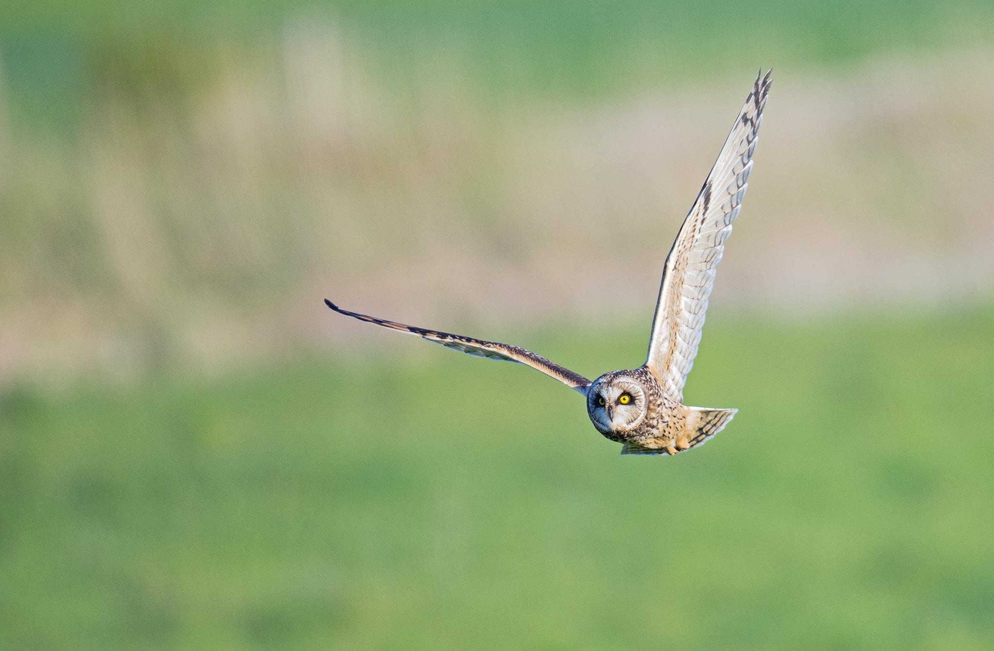 Hibou des marais (Asio flammeus) - Short-eared Owl - Baie de Somme - Picardie - France