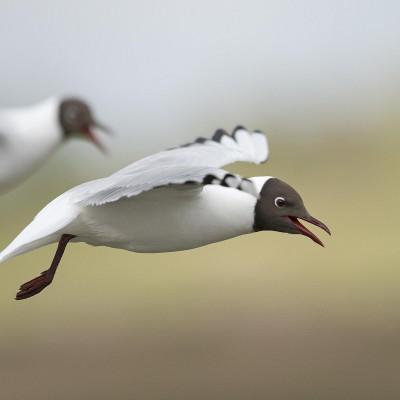 Mouette rieuse Chroicocephalus ridibundus - Black-headed Gull - Baie de Somme - Picardie - France