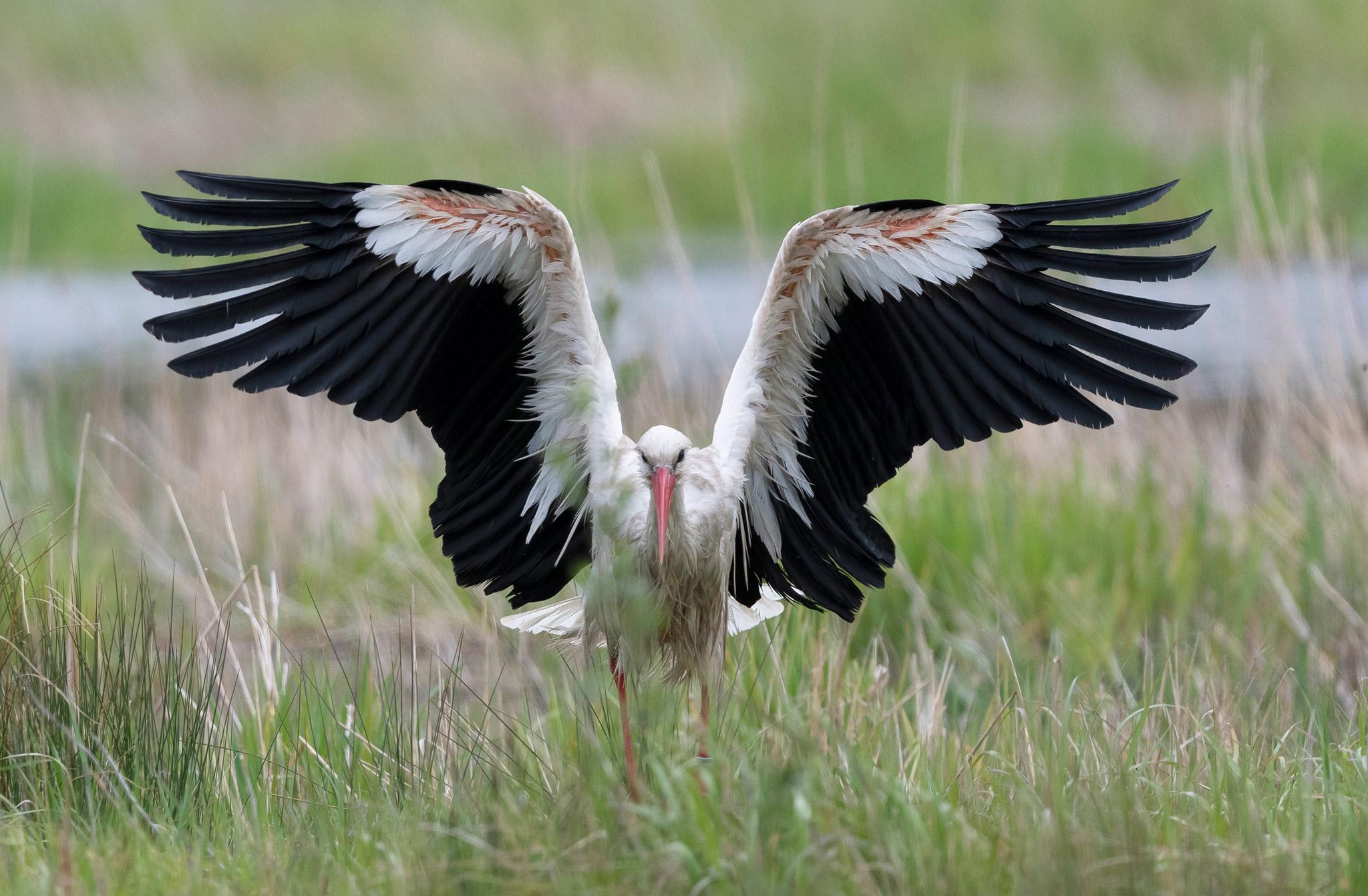 Cigogne blanche (Ciconia ciconia) séchage des ailes après la toilette - White Stork