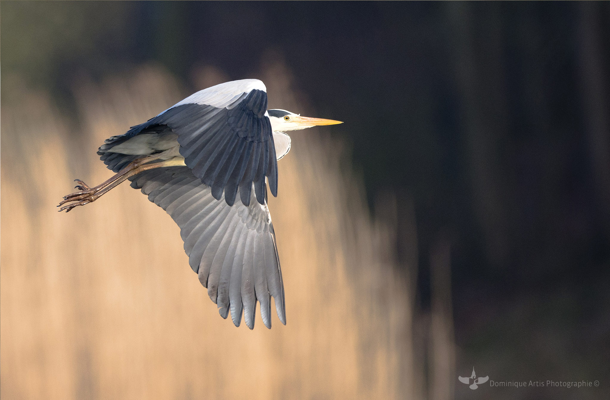 Héron cendré Ardea cinerea - Grey Heron