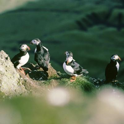 Macareux moine Falaise de Vik - Islande