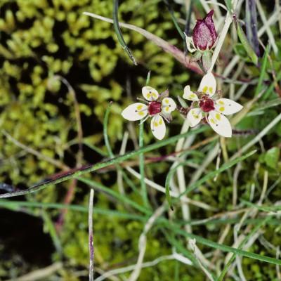 Flore d'Islande