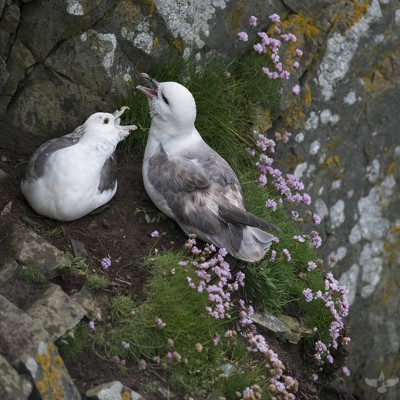 Fulmarx boréaux -  île De Noss - Shetland - Écosse