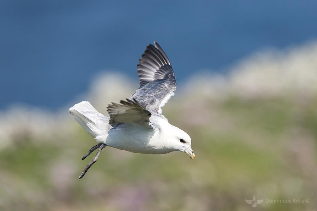 Fulmar boréal - île De Noss - Shetland - Écosse