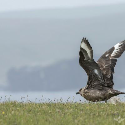 Grand Labbe (Stercorarius skua) - Île de Noss - Shetland - Écosse 2015