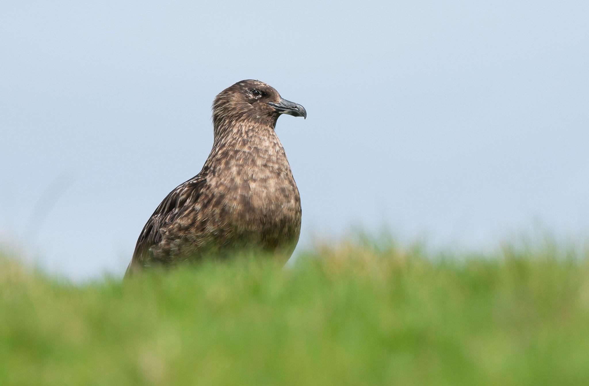 Le Grand Labbe (Stercorarius skua) - Les Shetland en abritent plus de la moitié. Ces «oiseaux pirates» n'hésitent pas à voler le poisson pêché par leurs congénères et à se nourrir de charogne, comme cette carcasse de phoque, ou d'autres oiseaux marins, tels les macareux.