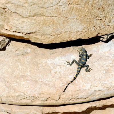 Lézard au pied d'une colonne. Palmyre - Syrie
