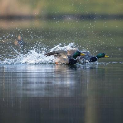 Poursuite de canards colvert