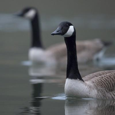 Bernaches du Canada -Canada-Goose