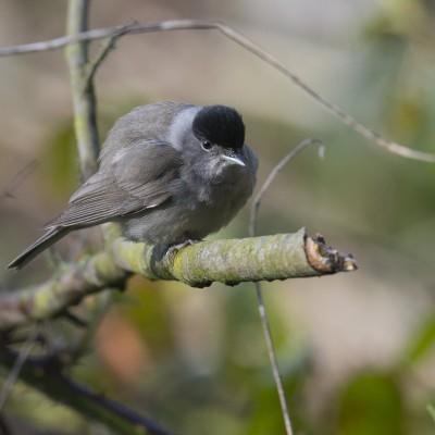La Fauvette à tête noire est une espèce de passereau de la famille des Sylviidae dont elle est l'espèce type. Migratrice partielle, elle hiverne en Afrique tropicale, mais aussi en Europe.
