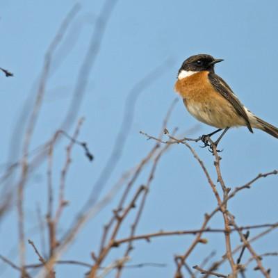 Oiseau remuant, le Tarier pâtre se perche à la vue de tous sur un arbuste ou sur des fils électriques pour guetter.