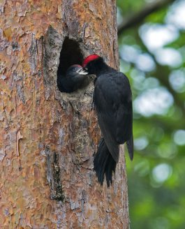le pic noir de la forêt de Rambouillet