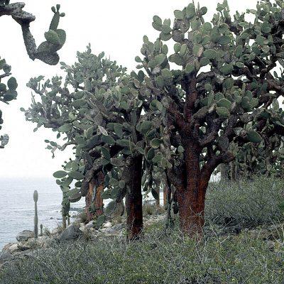 L'île de Santa Fe est une des plus vieilles îles de l'archipel des Galápagos et se caractérise par la présence d'une dense forêt de cactus Opuntia géants.