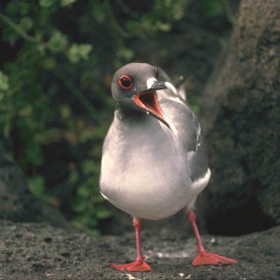 Endémique, la mouette à queue d'aronde est reconnaissable à ses grands yeux noirs cerclés de rouge. Cette partie rouge lui sert de sonar pour chasser la nuit.