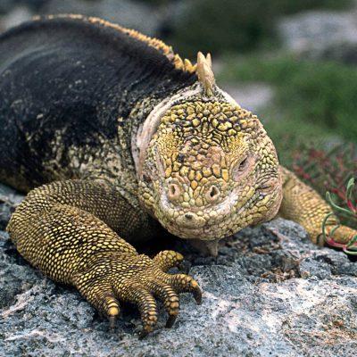 Les Iguanes terrestres se nourissent principalement d'herbes, de fleurs et des raquettes de cactus.