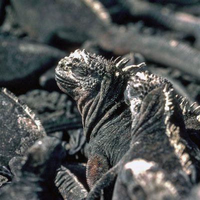 L'iguane marin des Galápagos est peu actif : il passe ses journées à dormir étendu sur une roche à se faire dorer au soleil. En période de reproduction, il est très agressif et très territorial. Cependant, le reste de l'année, les iguanes marins vivent en colonies.
