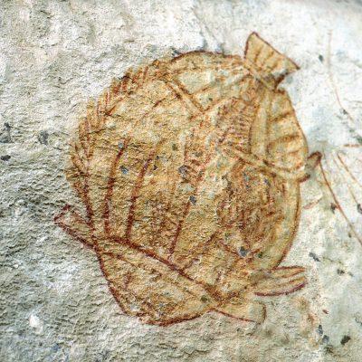 Barramundi (poisson emblématique du territoire du nord)