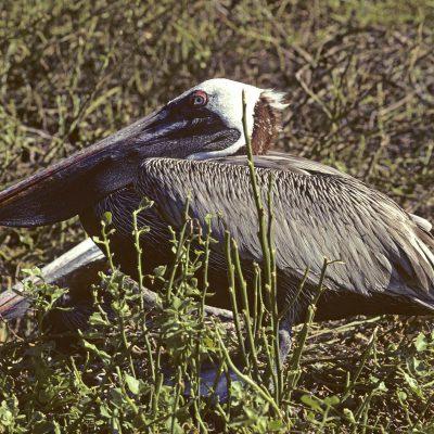 Le Pélican brun est l'un des plus grands oiseaux du Galapagos. Les adultes sont gris-brun avec le dessus de la tête blanc. La nuque est noisette rougeâtre pendant la saison des amours. Le bec est très long et crochu à l'extrémité.