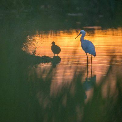Spatule blanche - Couché de soleil sur le marais de La Bassée