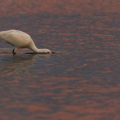 Spatule blanche cherchant sa nouriture
