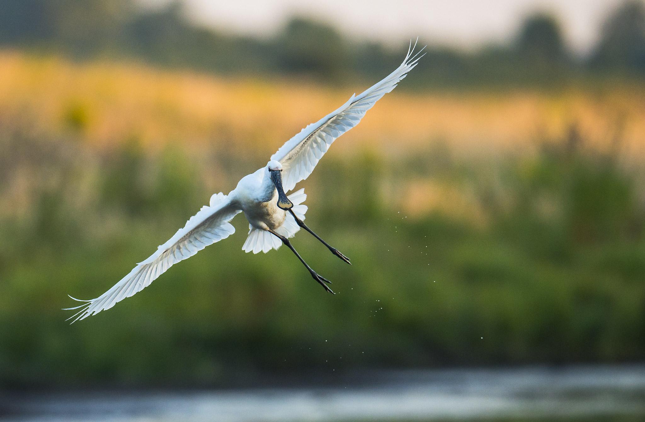 Spatule blanche en vol