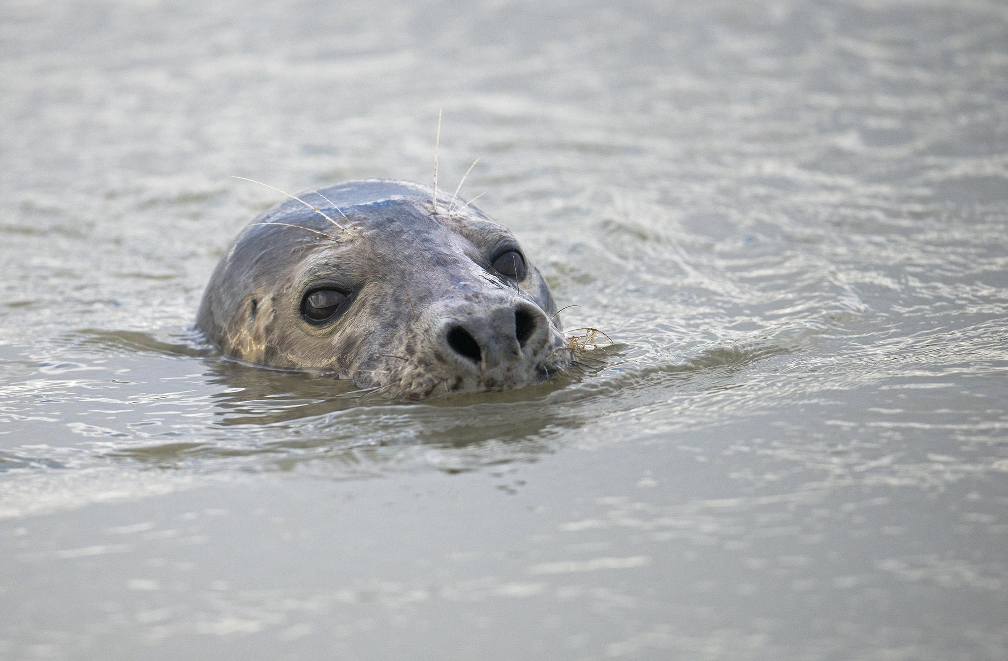 Les phoques gris et les phoques veaux-marins Baie d'Authie - Berck-sur-mer - Picardie